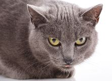 Cat Portrait without breed. A simple gray cat stock photo