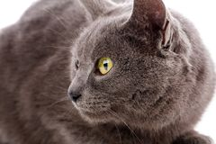 Cat Portrait without breed. A simple gray cat royalty free stock image