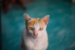 Cat portrait close up animala pets Royalty Free Stock Photos