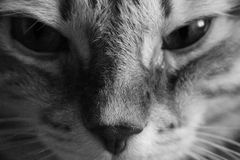 Cat portrait, close-up in black & white Royalty Free Stock Image