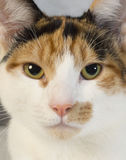 Cat portrait. Close up of a calico kittens face royalty free stock image