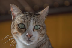 Cat portrait close up, Cute kitten . Royalty Free Stock Images