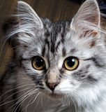Cat portrait close-up Royalty Free Stock Photography