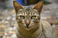 Cat portrait. Close up lonely face of stray cat portrait Royalty Free Stock Images