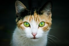 Cat portrait close-up photo emphasizing the colored green and yellow eyes staring at the camera Stock Photos
