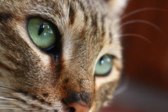Cat portrait. Close up pretty cat's portrait Stock Photography