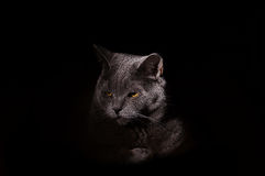 Cat portrait on dark background Stock Photography