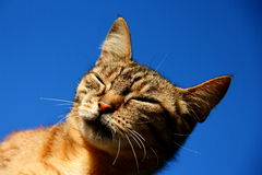 Cat. Portrait of a  dozing cat   against blue sky Royalty Free Stock Photo