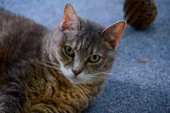 Cat, Portrait, Face, Ears, Furry Royalty Free Stock Photos