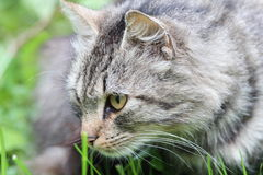 Cat portrait. With gres in background Royalty Free Stock Photo