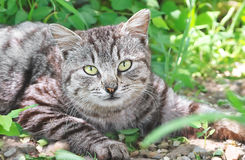 Cat portrait grey in grass outdoor Stock Images
