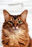 Cat portrait headshot. Headshot portrait of a beautiful ruddy somali female cat staring directly at the camera Stock Images