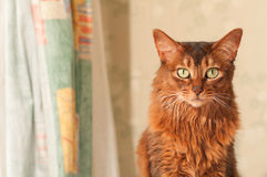 Cat portrait at home. Somali cat portrait at home near curtains looking at camera with copy space stock photo
