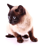 Cat portrait isolated Royalty Free Stock Photography