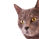 Cat portrait isolated Royalty Free Stock Photo