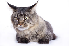 Cat portrait, Main coon. Beautiful Maine Coon cat on white background Stock Photography
