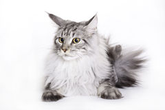 Cat portrait, Main coon. White-Silver Maine Coon cat on white background Stock Image