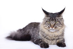 Cat portrait, Main coon Royalty Free Stock Photos