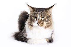 Cat portrait, Main coon. Cat on white background, Maine Coon Stock Images