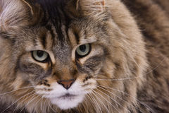 Cat portrait, Main coon. Closeup portrait of a Main coon cat Royalty Free Stock Photography