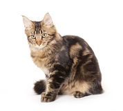 Cat portrait, Maine coon Royalty Free Stock Photography