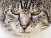Cat Portrait mal-humorada Imagem de Stock