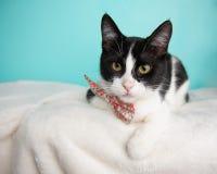 Cat Portrait noire et blanche le studio et en portant un noeud papillon photographie stock libre de droits
