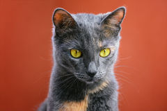 Cat. Portrait Of Outbred Domestic Cat Royalty Free Stock Photos