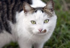 Cat portrait outdoors. Closeup outdoors portrait of a cat Royalty Free Stock Images