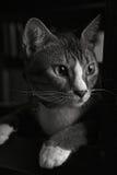 Cat Portrait preta & branca 2 Fotos de Stock Royalty Free