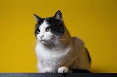 Cat Portrait preto e branco Imagens de Stock Royalty Free