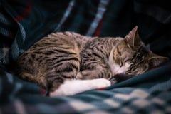 Cat Portrait preto e branco adorável no sofá Fotos de Stock Royalty Free