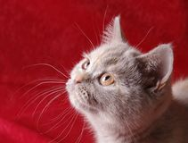 Cat portrait on a red background. A young british shorthair cat studio portrait on a red background Royalty Free Stock Photo