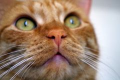 Cat. Portrait of redhead cat Mishu royalty free stock images