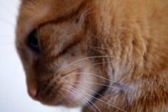 Cat. Portrait of redhead cat Mishu stock image