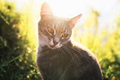 cat portrait sits on a summer sunny meadow in bright rays royalty free stock photography