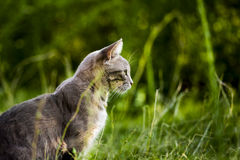 Cat portrait. Royalty Free Stock Images