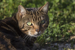 Cat. Portrait of a striped tiger cat stock images