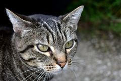 Tabby cat portrait. Grey striped cat, green eyes, predatory gaze. Cat portrait. Tabby cat closeup. Predatory gaze. Grey striped cat, green eyes stock photo