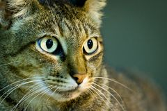 Cat portrait with wide open eyes royalty free stock photo