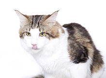 Cat portrait, tongue out, Maine coon Stock Photo