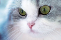 Beautiful cat portrait, green eyes Royalty Free Stock Photos