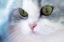 Beautiful cat portrait, green eyes Royalty Free Stock Photos
