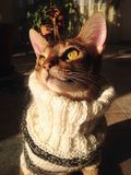 Cat portrait, wearing sweater Royalty Free Stock Image