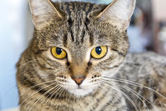 Cat portrait with yellow eyes Royalty Free Stock Photography