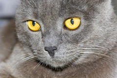 Cat portrait with yellow eyes Royalty Free Stock Image