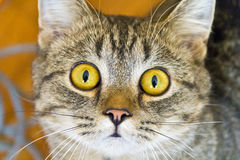 Cat portrait with yellow eyes Stock Image