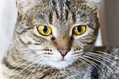 Cat portrait with yellow eyes Stock Photography