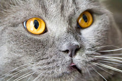 Cat portrait with yellow eyes Stock Images
