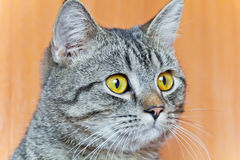 Cat portrait with yellow eyes Royalty Free Stock Photos